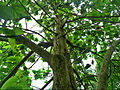 (Nyctanthes arbor-tristis) tree at Madhurawada.JPG