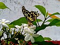 (Papilio demoleus) butterfly at Madhurawada.jpg
