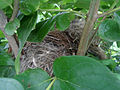 (Turdoides affinis) White headed babbler nest at Madhurawada 03.JPG