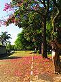 Árvore paineira - panoramio.jpg