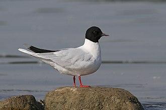 Little gull - Image: Čajka malá (Larus minutus) a (4834254958)