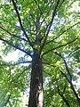 Гинко, Ботаничка башта Јевремовац, 02.JPG