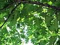 Гомель. Парк. Дуб красный. Фото 08.jpg