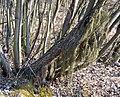 Додаткові корені на стеблах верби.jpg