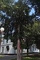 Дрогобич, тиси біля пам'ятника Міцкевичу.jpg