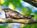 Дрімлюга на гілці дерева (cropped).jpg