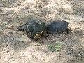 Европейская болотная черепаха.4.jpg