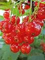 Красная смородина- Redcurrant- דומדמניות אדומות - panoramio.jpg