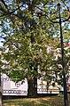 Липа войлочна по вулиці Соборній, 2 у Кам'янець-Подільському. Фото 3.jpg