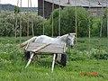 Лошадь в д. Окуловская.jpg
