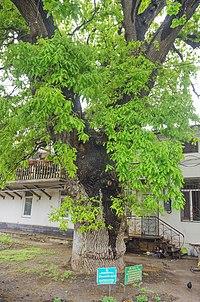 Найвідоміше історичне дерево Одеси.jpg