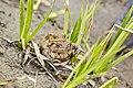 Нерест жаб 2.jpg