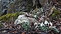 Підсніжник білосніжний (Galanthus nivalis) у Козаковій Долині.jpg