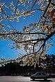 عکس از شکوفه های بهاری در بهشت زهرا.jpg