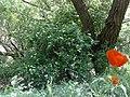 گلهای آغلاغان میاندواب-آبشار - panoramio.jpg