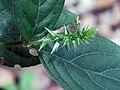 土牛膝(倒扣草) Achyranthes aspera -香港西貢獅子會自然教育中心 Saikung, Hong Kong- (9219875049).jpg