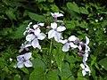 宿根銀扇草 Lunaria rediviva -斯洛文尼亞 Bled Vintgar Gorge, Slovenia- (27670721526).jpg