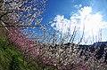 広橋梅林 Hirohashi-bairin 2014.3.22 - panoramio (2).jpg