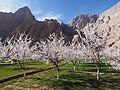杏花盛开 - Apricots in Bloom - 2015.04 - panoramio (1).jpg