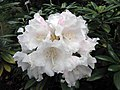 杜鵑花屬 Rhododendron degronianum ssp yakushimanum -比利時 Leuven Botanical Garden, Belgium- (9227006945).jpg