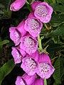 毛地黃 Digitalis Camelot Lavender -英格蘭 Woking, England- (9200933226).jpg
