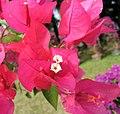 水紅光葉子花 Bougainvillea glabra 'Rosea' -深圳蓮花山公園 Shenzhen Lianhuashan Park, China- (11205635396).jpg