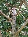 紅刺露兜樹 Pandanus utilis 20200410215300 07.jpg