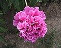 芍藥-桃花飛雪 Paeonia lactiflora 'Peach Blossom with Snow' -瀋陽植物園 Shenyang Botanical Garden, China- (12380140255).jpg