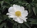 芍藥-白玉盤 Paeonia lactiflora 'White Jade Plate' -瀋陽植物園 Shenyang Botanical Garden, China- (12380295963).jpg