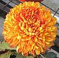 菊花-泉鄉銀鶴 Chrysanthemum morifolium 'Silver Crane' -中山小欖菊花會 Xiaolan Chrysanthemum Show, China- (11979993385).jpg