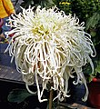 菊花-綠芙蓉 Chrysanthemum morifolium 'Green Lotus' -中山小欖菊花會 Xiaolan Chrysanthemum Show, China- (12064623235).jpg