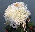 菊花-聖光寶殿 Chrysanthemum morifolium 'Most Honoured Hall' -中山小欖菊花會 Xiaolan Chrysanthemum Show, China- (12064915893).jpg