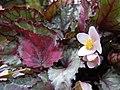 蛤蟆秋海棠 Begonia rex Spitfire -香港公園 Hong Kong Park- (37280439851).jpg