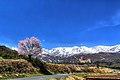 野平の一本桜 - panoramio.jpg