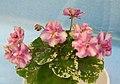 非洲紫羅蘭 Saintpaulia Ko's Luv Whisper -香港北區花鳥蟲魚展 North District Flower Show, Hong Kong- (31510046590).jpg