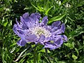 高加索藍盆花 Lomelosia caucasica (Scabiosa caucasica) -維也納大學植物園 Vienna University Botanical Garden- (27812035364).jpg