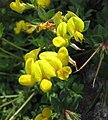 高原百脈根 Lotus alpinus -維也納高山植物園 Belvedere Alpine Garden, Vienna- (28502944774).jpg