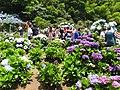 高家繡球花田 Gao's Hydrangea Flower Field - panoramio.jpg