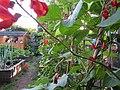 -2020-07-17 Runner bean flowers, Trimingham, Norfolk (1).JPG
