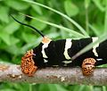 .Frangipani Hawkmoth Caterpillar. Pseudosphinx tetrio. Showing 'tail'. - Flickr - gailhampshire.jpg