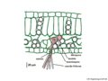 03 03 12 teliosporas, un basidio y células dicarioticas de Entyloma sp. en una hoja, Entylomatales Basidiomycota (M. Piepenbring).png