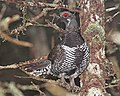 080 - SPRUCE GROUSE (5-30-2015) washington co, maine -04 (18276832372).jpg