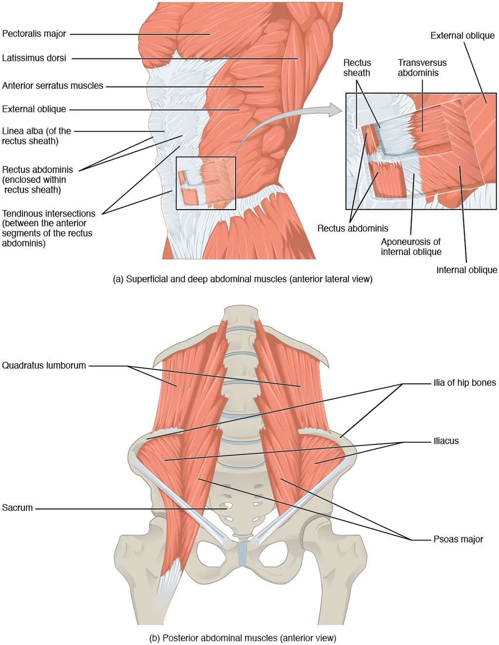 1112 Muscles of the Abdomen