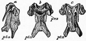 1911 Britannica-Bird-Vertebra of a Fowl.png