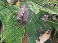 1 - Pentatoma rufipes 7 - Putney Heath Common 2011.08.02.jpg