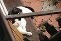1 Black and white cat.JPG