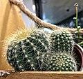 1 Cactus, 2 cactus and 3 Cactus (37786982512).jpg