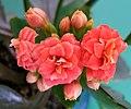 2007-03-19Kalanchoe blossfeldiana05.jpg