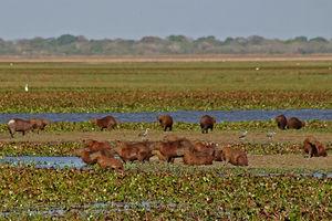 Los Llanos (South America) - A group of capybaras at Hato La Fe in the Los Llanos region of Venezuela.