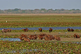 Los Llanos (South America) - A group of capybaras at Hato La Fe in the Los Llanos region of Venezuela.